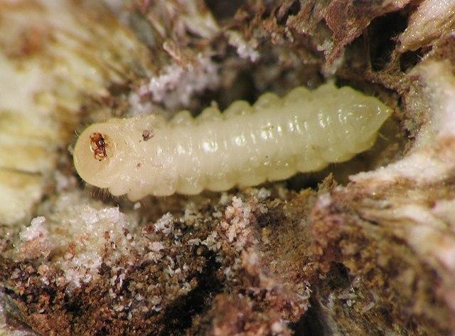 metodos como eliminar larvas de moscas