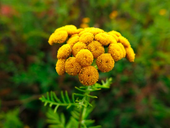 plantas ahuyenta moscas tanaceto